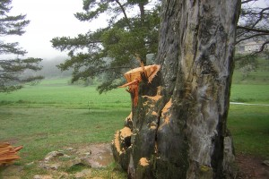 El Pi de les Tres Branques recuperarà el braç serrat aquesta primavera