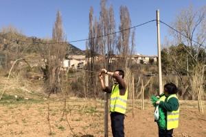 S'inicien els treballs de plantació de vidalba per tal de garantir-ne l'existència durant La Patum