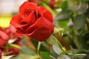 La Llar Santa Maria de Queralt preveu vendre 2.600 roses aquest Sant Jordi