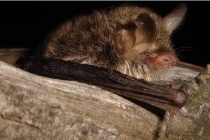 Un grup de voluntaris recomptaran demà els ratpenats d'aigua que hi ha a Pedret
