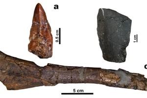 Troben al Berguedà un fragment de vèrtebra del fòssil més modern de titanosaure a Europa