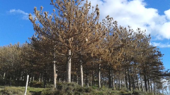 processionaria pins secs