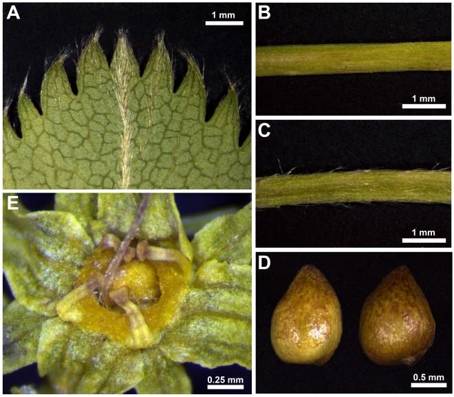planta caracteristiques