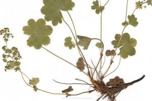 Identifiquen una nova planta al Parc Natural del Cadí-Moixeró