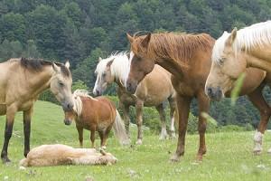 Uns cinquanta cavalls faran la transhumància des de l'Alt Urgell fins al Berguedà