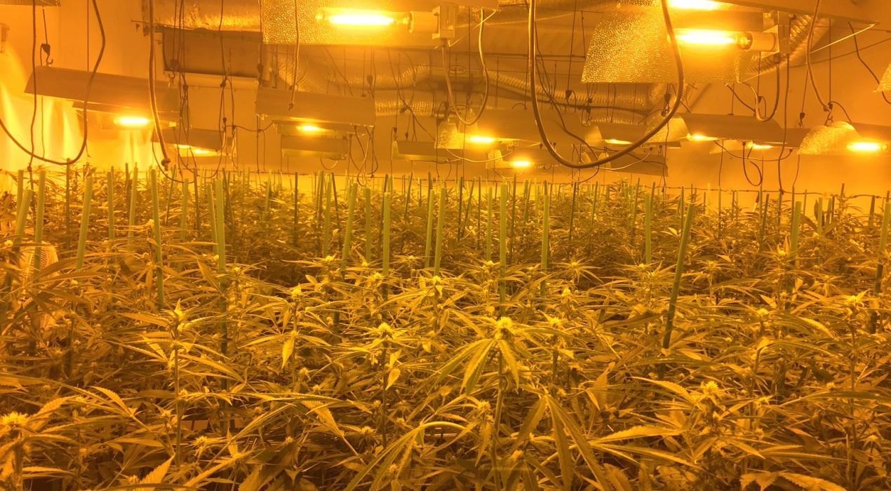 Detenen 7 persones relacionades amb la plantació de més de 3.600 plantes de marihuana a Avià