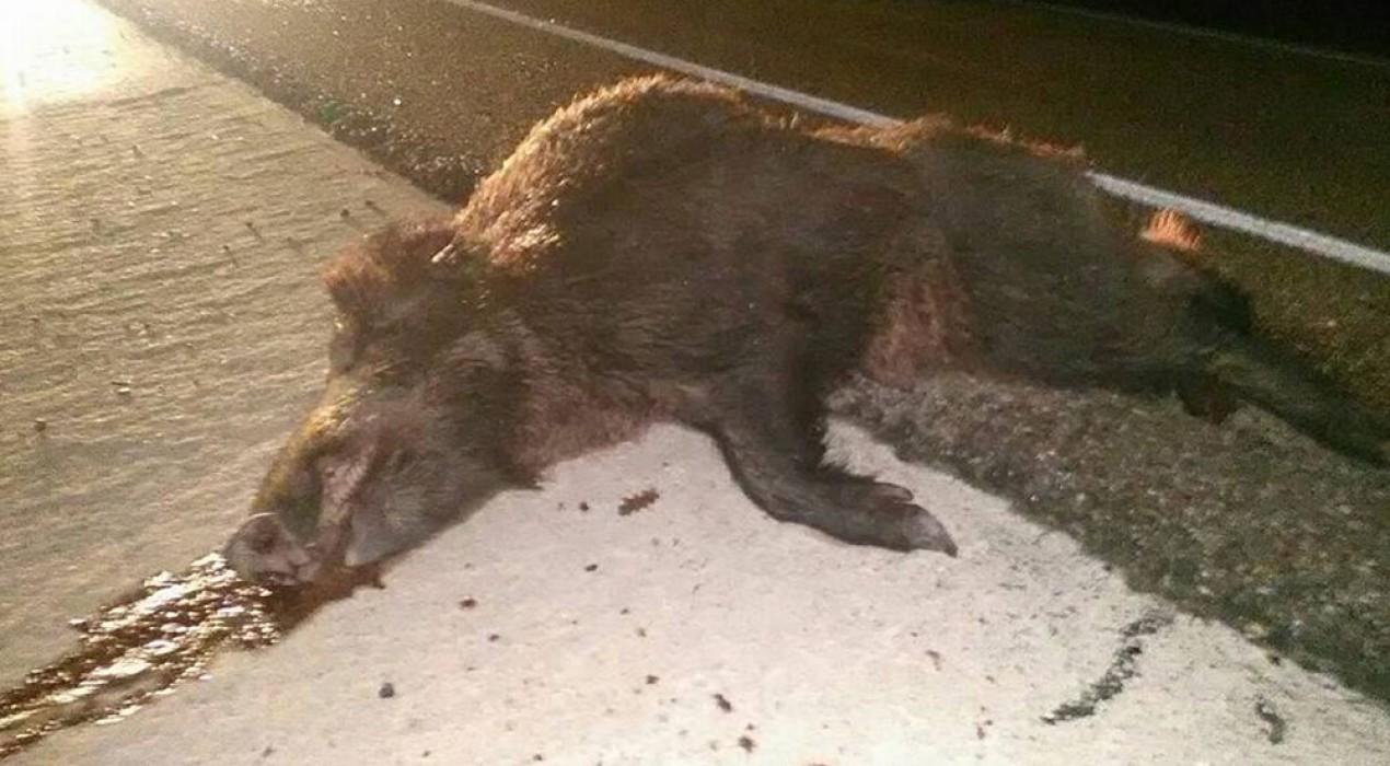 Revifen els accidents de trànsit provocats per porcs senglars a la carretera de Casserres