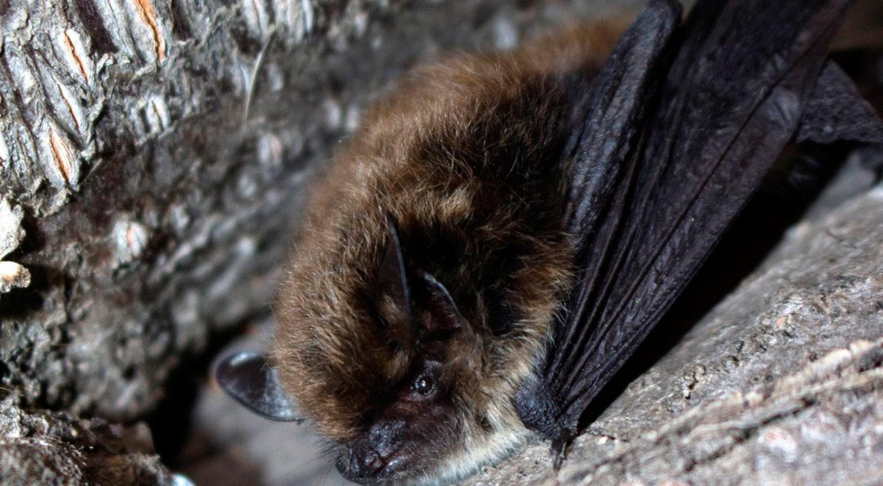 Capturen tres exemplars de ratpenat de bigotis al Parc Natural del Cadí-Moixeró