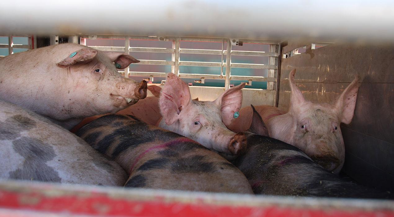 porcs-camio