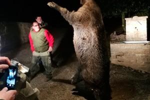 Cacen a l'Espunyola el porc senglar més gran d'Espanya: 228 quilos