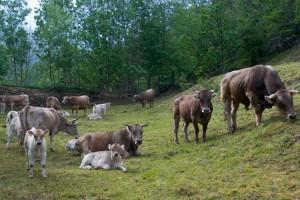 Els ramaders del Berguedà comencen a rebre els ajuts del 2017: 193.586 euros cap al sector de boví de llet