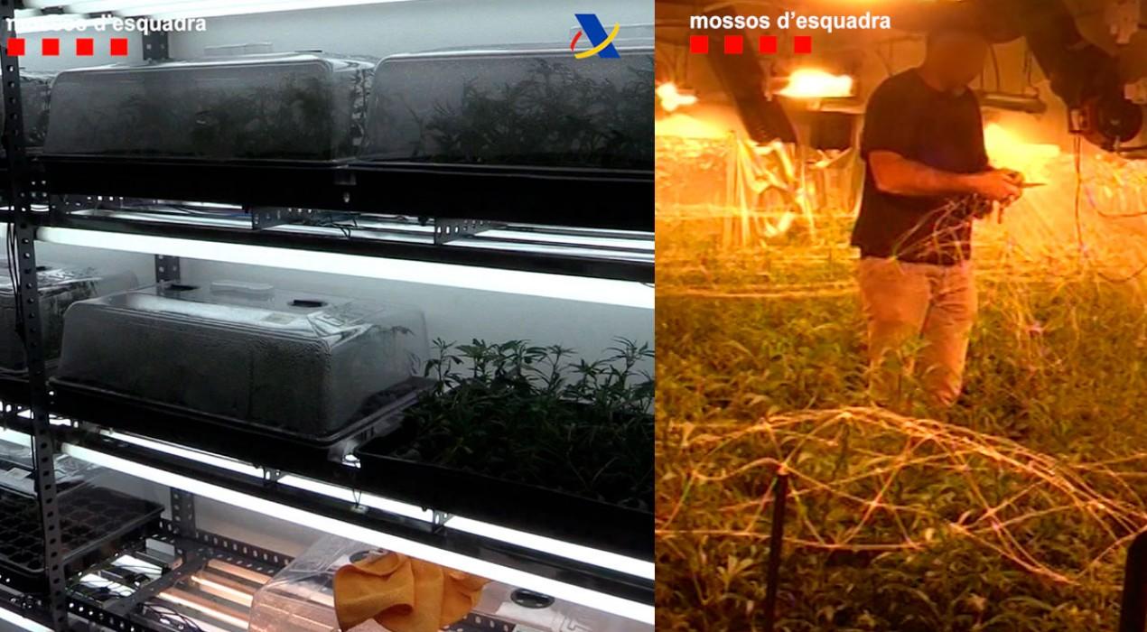 Presó per a dues persones implicades en la plantació de marihuana localitzada a Montmajor