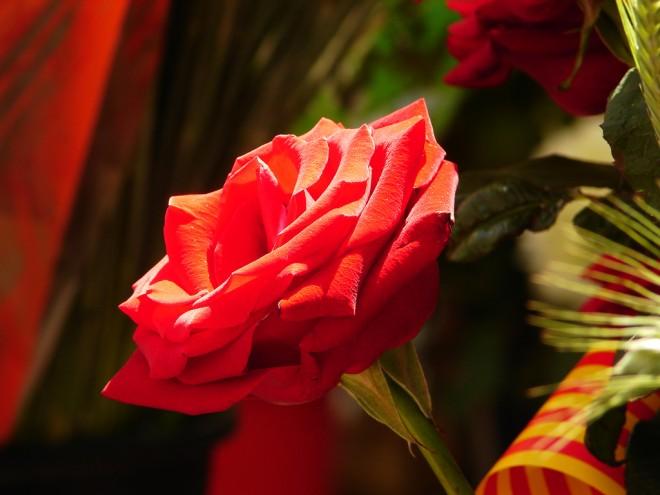 Resultado de imagen para roses de sant jordi 2018