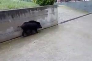 Un senglar desorientat es passeja pels carrers de Berga i Avià