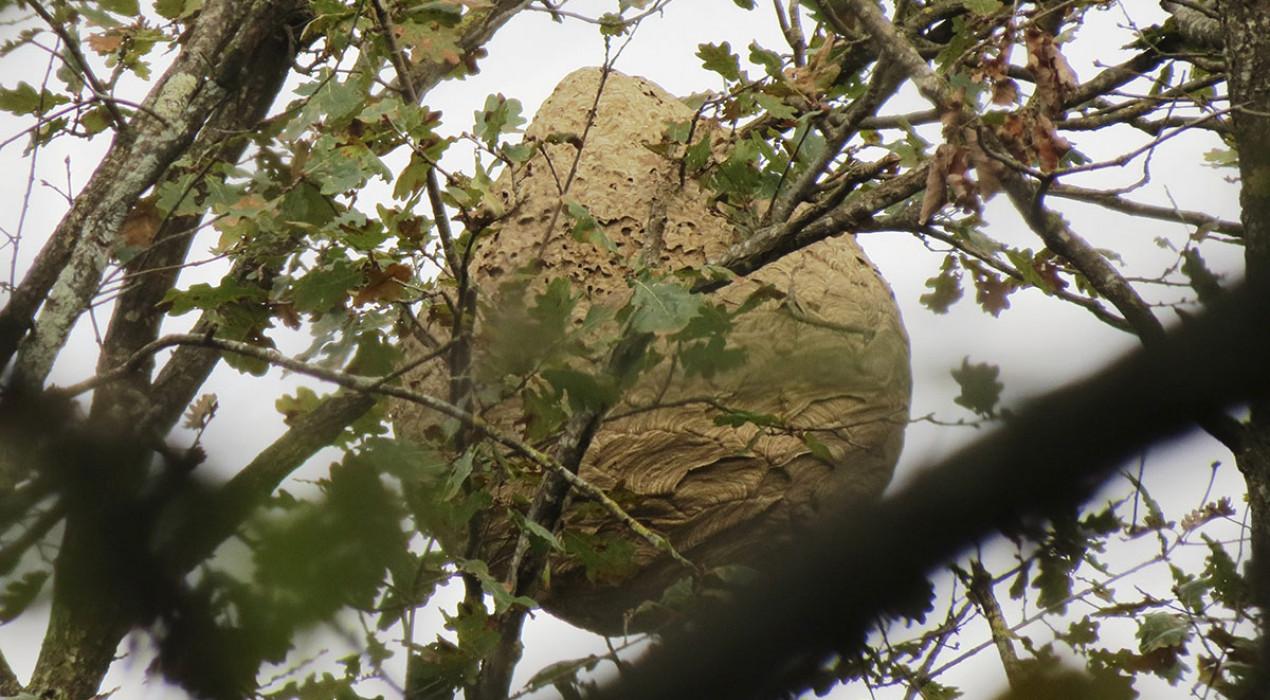 Detecten nius de vespa asiàtica en diversos municipis del Berguedà