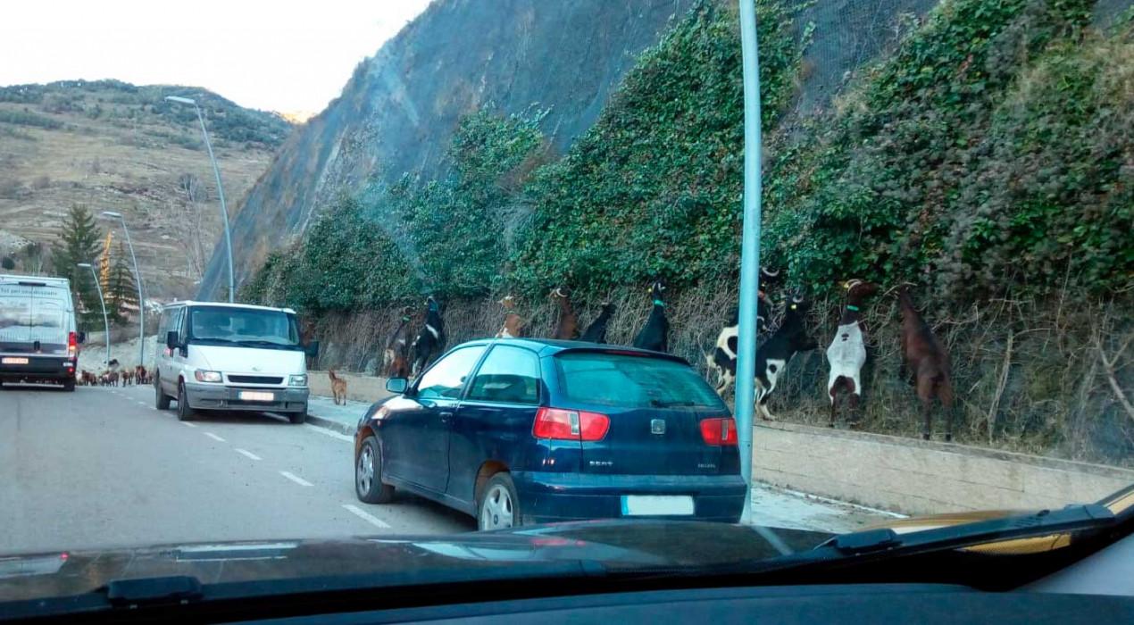 Les cabres més escaladores de Bagà