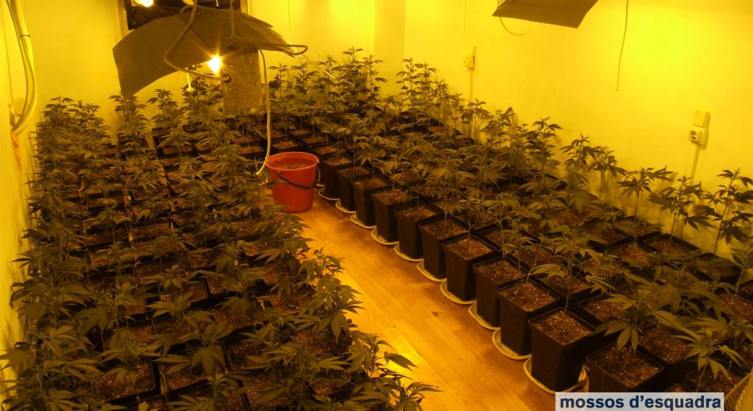 marihuana_juliol_berga