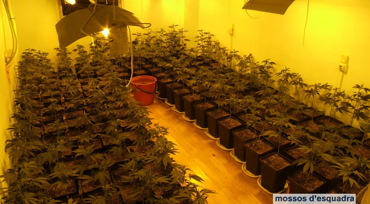 Desmantellades dues plantacions de 550 plantes de marihuana a Berga
