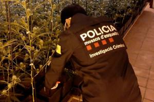Berga, implicada en un dispositiu de Mossos arreu del país que suma 25 detinguts i 15 plantacions de marihuana desmantellades