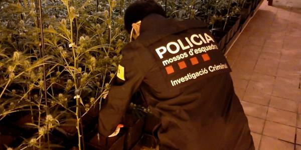 mossos-marihuana-2020-juny