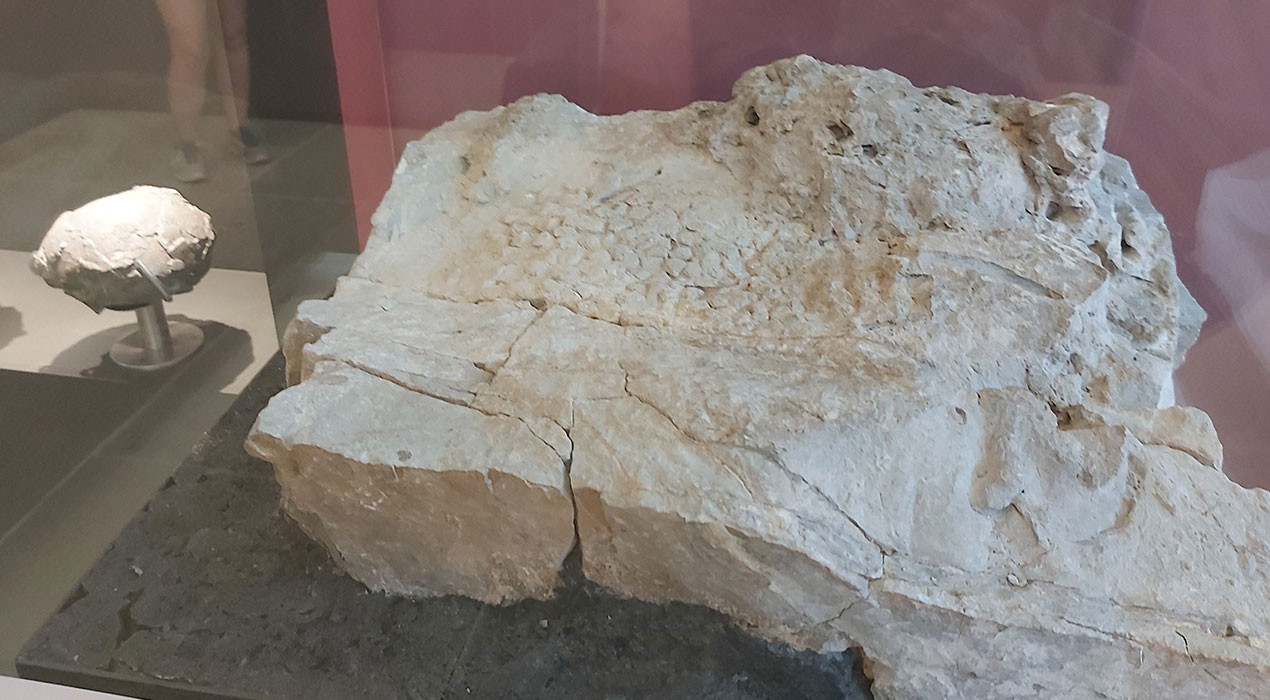 El centre d'interpretació de Fumanya ja exposa la pell d'un dels últims dinosaures que va viure al món