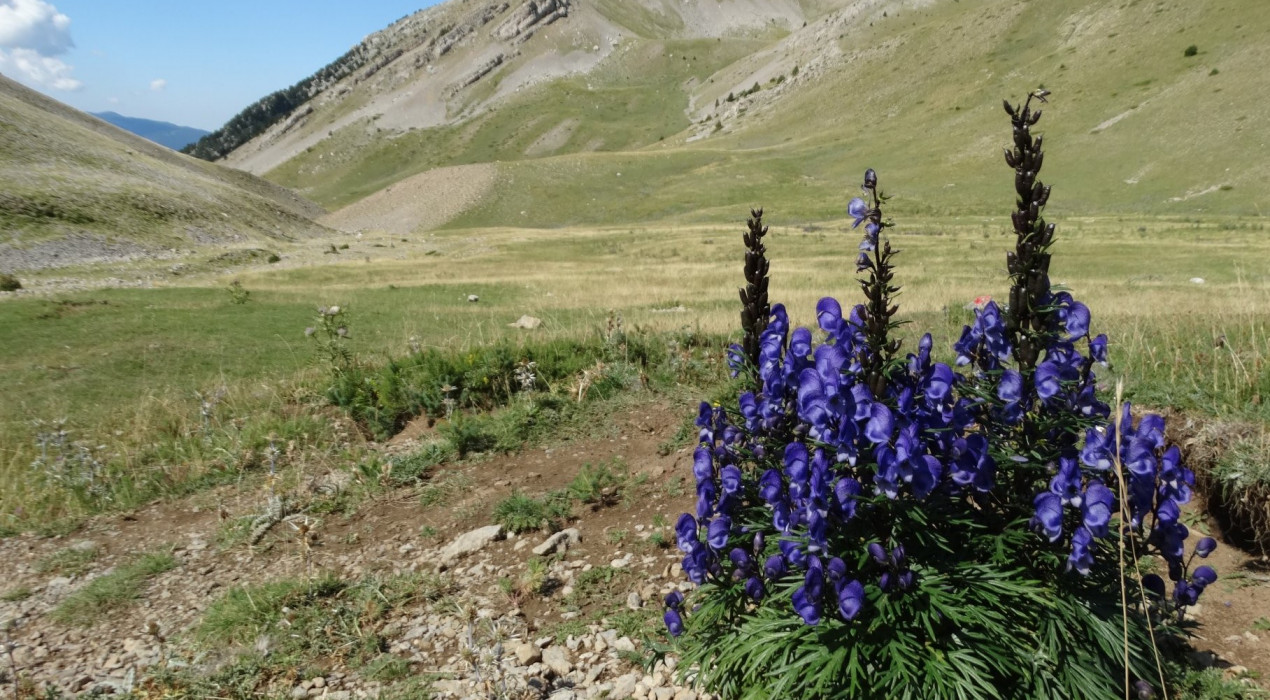 La flor de la planta més tòxica d'Europa ja llueix al Berguedà