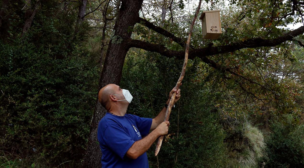 Més mallerengues i pardals perquè es mengin les papallones de boix: la prova pilot al Ripollès per reduir la plaga