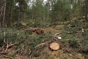 Territori nega que la tala a Gisclareny fos en zona de gall fer i l'ecologisme l'acusa de mentir