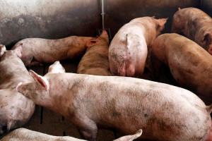 El Govern allarga quatre anys la limitació d'ampliar o instal·lar granges en nou municipis del Berguedà